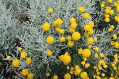 IMG_2461 (nic0v0dka) Tags: yellow flower flowers jaune fleur fleurs jardin france