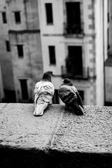 Love Birds (sawyersource) Tags: street streetphotography streettogs pigeon pigeons birds bird lovebirds blackandwhite blackandwhitephotography blackwhite bnwphotography bnw bnwstreet nikon nikkor d7200 35mmlens barcelona spain españa catalonia catalunya feathers roof roofedge wings beak balcony