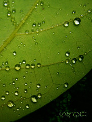 The rain's beadin' up my love... (A. K. Hombre) Tags: leaf macro droplets water beads waterbeads waterbeading green patterns spheres lines plant wet wetlook canon powershota480