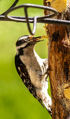 Downy Woodpecker inhaling Bark Butter (114berg) Tags: 20june18 immature baltimore oriole downy woodpecker bluejay grape jelly bark butter whole peanuts geneseo illinois
