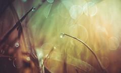 Grass bokeh (Dhina A) Tags: sony a7rii ilce7rm2 a7r2 a7r dukane 3inch f25 dukane3inchf25 vintage bokeh circlebokeh projector projection lens trioplan diaplan pentaconav dew dewdrops water drops closeup macro grass
