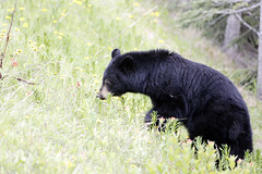 Black Bear (Walcher Franz) Tags: canada parkscanada parks park wildlife alberta animals animal icefield parkway