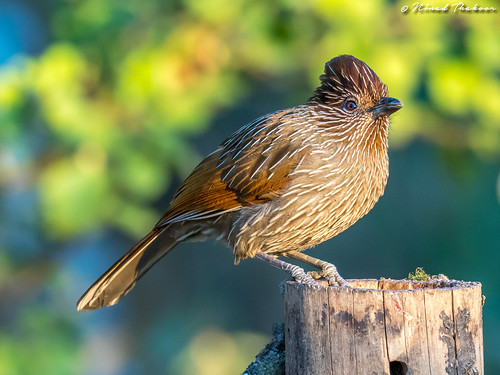 """Striated Laughingthrush (Lifer) • <a style=""""font-size:0.8em;"""" href=""""http://www.flickr.com/photos/59465790@N04/26215816347/"""" target=""""_blank"""">View on Flickr</a>"""