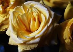DSC_9018 (PeaTJay) Tags: nikond750 sigma reading lowerearley berkshire macro micro closeups gardens indoors nature flora fauna plants flowers bouquet rose roses rosebuds