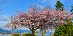 Cherry Blossoms - Stanley Park (SonjaPetersonPh♡tography) Tags: vancouver bc canada waterfront downtownvancouver skyline landscape waterscape britishcolumbia nikond5300 nikon trees cherryblossoms flowers plants spring springflowers stanleypark stanleyparkseawall
