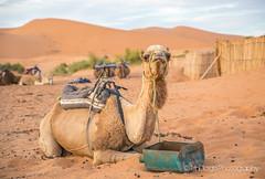 "Sahara | TrinDiego (TrinDiego) Tags: morocco 2018 trindiego sahara berber camp desert camel sand almamlakahalmaghribiyah ""western kingdomالمَغرِبⵍⵎⵖⵔⵉⴱ مرزوقة الصحراء merzouga صحراء northafrica africa المملكةالمغربية kingdomofmorocco ⵜⴰⴳⵍⴷⵉⵜⵏⵍⵎⵖⵔⵉⴱ almaġrib"