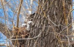 Great Horned Owl (PaulPagéPhotos) Tags: owlet 200500mm d500 nature wildlife birds greathornedowl owls birdsofprey raptors