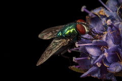 The fly (Jacko 999) Tags: diptera macro extreme mpe65mm 15x robert eede pretty tiny small insect amazing canon eos 5ds r f28 photo