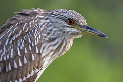 Juvenile Black-crowned Night Heron (DFChurch) Tags: florida juvenile immature black crowned night heron bird wild feather nature wildlife sixmilecypressslough fortmyers