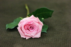 khaled-photo ✤ (respect all ️️ ♥) Tags: roses everyone loves why agrees because it is beautiful