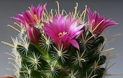 Mammillaria duwei pink flowered form (Cactipal) Tags: mammillaria duwei macro focusstacking pink flower form