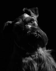 Oscar Low Key (Cheryl3001) Tags: schnauzer dog low key black white light lamp