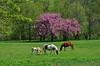 E' primavera per tutti / It's spring for everyone (frank28883) Tags: primavera spring printemps cavalli cavallo pascolo cavallialpascolo aprile
