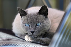 Joris (katjacarmel) Tags: cat kat chat gato portrait portret eyes blue closeup relax outside spring poes pet huisdier animal dieren dier animals cats katten