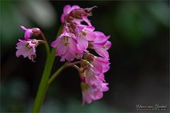 Gardenlife... (Hans van Bockel) Tags: 105mm bladeren bloemen d7200 knoppen macro natuur natuurgebied nikkor nikon tuin voorjaar groen
