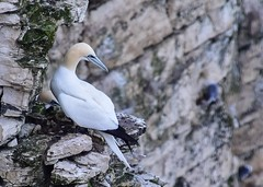 Gannet on a ledge (rustyruth1959) Tags: inexplore explored explore rock wingss neck beak outdoor cliffface breedingground nestingbirds seabird bird gannet rockledge ledge cliffs coast bempton bemptoncliffs eastridingofyorkshire yorkshire england uk tamron16300mm nikond5600 nikon moss chalk