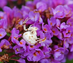 Waiting for.... (Michael Jefferies) Tags: australia queensland toowoomba harristown spider crab thomisidae araneae flower geo:country=australia taxonomy:family=thomisidae