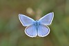 Polyommatus (Polyommatus) icarus (Rottemburg, 1775). Macho (Jesús Tizón Taracido) Tags: insecta lepidoptera papilionoidea lycaenidae polyommatinae polyommatini polyommatusicarus