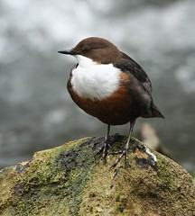 Dipper on rock - River Frome (glostopcat) Tags: dipper bird water glos march spring riverfrome stroud gloucestershirewildlifetrust