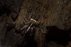 bark jumper (dustaway) Tags: arthropoda arachnida araneae araneomorphae salticidae euophryinae littlestripey jumpingspider male tamborinemountain sequeensland queensland australia australianspiders