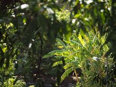 Cabo Verde Cape Verde Ilha de Santiago Island Cidade Velha Ribeira Grande © Kapverden Kapverdische Inseln Kap Verde © (hn.) Tags: africa afrika banana bananaleaf bananaplant bananatree bananenbaum bananenblatt bananenpflanze caboverde capeverde cidadevelha ilha insel island kapverde kapverden kapverdischeinseln macaronesia ribeiragrande ribeiragrandedesantiago sotavento westafrica westafrika heiconeumeyer copyright copyrighted
