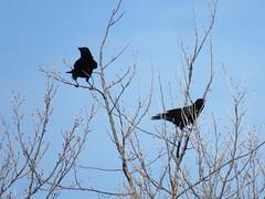 Corvus corone (dhobern) Tags: 2018 aves essex march naze uk waltononthenaze passeriformes corvidae corvuscorone