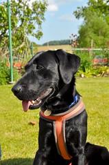 Rupert (Martin Pettitt) Tags: 2018 burystedmunds dog dslr family garden littlewhelnetham lowgreen may nikond90 outdoor rupert spring suffolk uk