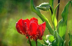 Tulipe Parrot Rococo (mamietherese1) Tags: magicunicornverybest floralessence ngc world100f alittlebeauty coth coth5 untouchabledream waterdropsmacros