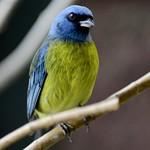 Blue & Yellow Tanager thumbnail