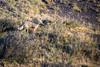 Surveying the Scene (jeff_a_goldberg) Tags: chile grayfox nature torresdelpainenationalpark torresdelpaine patagonia naturalhabitatadventures nathab patagonianfox fox amarga regióndemagallanesydelaan regióndemagallanesydelaantárticachilena cl