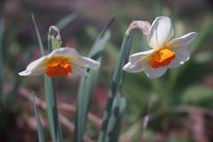 """DSC07697 (Old Lenses New Camera) Tags: sony a7r kodak folmer """"folmer schwing"""" factograph 100mm f45 plants garden flowers daffodils"""