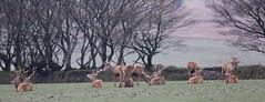 Exmoor Stags (Robin M Morrison) Tags: reddeer stags field exmoor