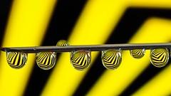 Yellow and Black (YᗩSᗰIᘉᗴ HᗴᘉS +15 000 000 thx) Tags: yellow black yellowandblack drop droplet water macro needle hensyasmine namur belgium europa aaa namuroise look photo friends be wow yasminehens interest intersting eu fr greatphotographers lanamuroise geometry