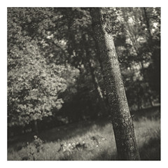 A beautiful spring forest (cardijo) Tags: rolleiflex ilford fp4 tree forest rodinal