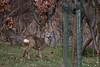 ©Mark Kras-Ree-IMG_2502.jpg (markkras-fotografie) Tags: zoogdieren herten ree fauna capreoluscapreolus roedeer nederland nl