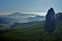 Cameron Highlands - Boh Tea Plantation 8 (luco*) Tags: malaisie malaysia cameron highlands boh tea plantation thé matin morning montagnes montagne hills collines arbre tree