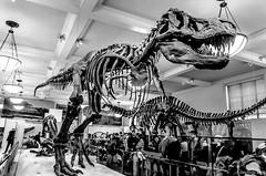 tyrannosaure (Patrice Dx) Tags: muséedhistoirenaturelledenewyork tyrannosaure dinosaure fossile paléontologie théropode