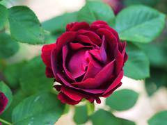 Róża-dla-Ciebie Rose-for-you Rose-für-dich (arjuna_zbycho) Tags: róża rose rosas roses róże rosu rosae flower kwiat blume makrofoto macrophoto rosarium rosengarten الورد austria badenbeiwien doblhoffpark biosphaerenparkwienerwald lovers gülsevenler gül trandafir trandafiri زهرة