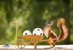 red squirrel standing with a wheelbarrow and ball (Geert Weggen) Tags: acrobat animal backlit ball bright cheerful closeup temperature cute goalie horizontal humor looking mammal nature photography playing red rodent smiling snow soccer soccerball soccerplayer sport squirrel sun sweden walking football leather footer goal goalkeeper keeper crossbar home shoe sneakers bispgården jämtland geert weggen ragunda