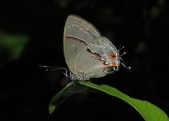 Aubergina hesychia (Camerar 4 million views!) Tags: auberginahesychia butterfly lycaenidae peru butterflies insect