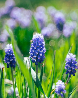 Grape Hyacinth with some bubbles