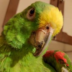 Loreto il Grande (tullio dainese) Tags: 2018 gorizia loreto famiglia pappagalli animali