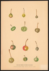 n5_w1150 (BioDivLibrary) Tags: apples drawings pears pictorialworks sovietunion watercolors cornelluniversitylibrary bhl:page=55916796 dc:identifier=httpsbiodiversitylibraryorgpage55916796 cornellcider