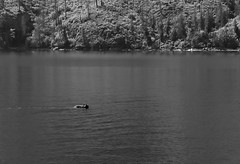 Bear swimming (peter.a.klein (Boulanger-Croissant)) Tags: blackandwhite bw black white blanc noir noiretblanc negro blanco schwarz weiss leica monochrom lakechelan lake bear swimming whydidthechickencrosstheroad