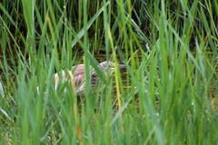 The observer (Albert T M) Tags: oroval martinetros garsamonyuda ardeolaralloides garcillacangrejera ardeidae natura naturaleza espainatural faunasalvatge aiguamollsdelempordà aiguamolls altempordà canon70300mmf456isiiusm catalunya ocell