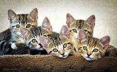 The T-Litter! (Mimi Ditchie) Tags: kitten kittens cats adoptable litter woodshumanesociety caturday