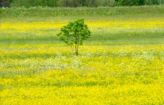 Clifton Ings Buttercups & Tree (Ravensthorpe) Tags: york plants flowers buttercups trees