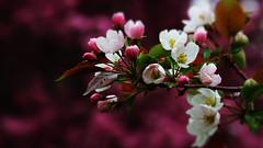 Blossom (Bob's Digital Eye) Tags: blossom bobsdigitaleye bokeh canon canonefs55250mmf456isstm depthoffield flicker flickr macro may2018 spring2018 t3i