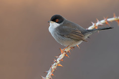 sardinian warbler (leonardo manetti) Tags: bird nature red winter colours naturephotography field natural nikkor countryside green morning black uccello wood forest fields dawn sunrise sardinian warbler albero
