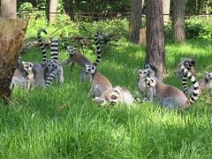 IMG_0092 (duncansmith50) Tags: yorkshirewildlifepark lions polar bears black rhino tigers giraffes doncaster